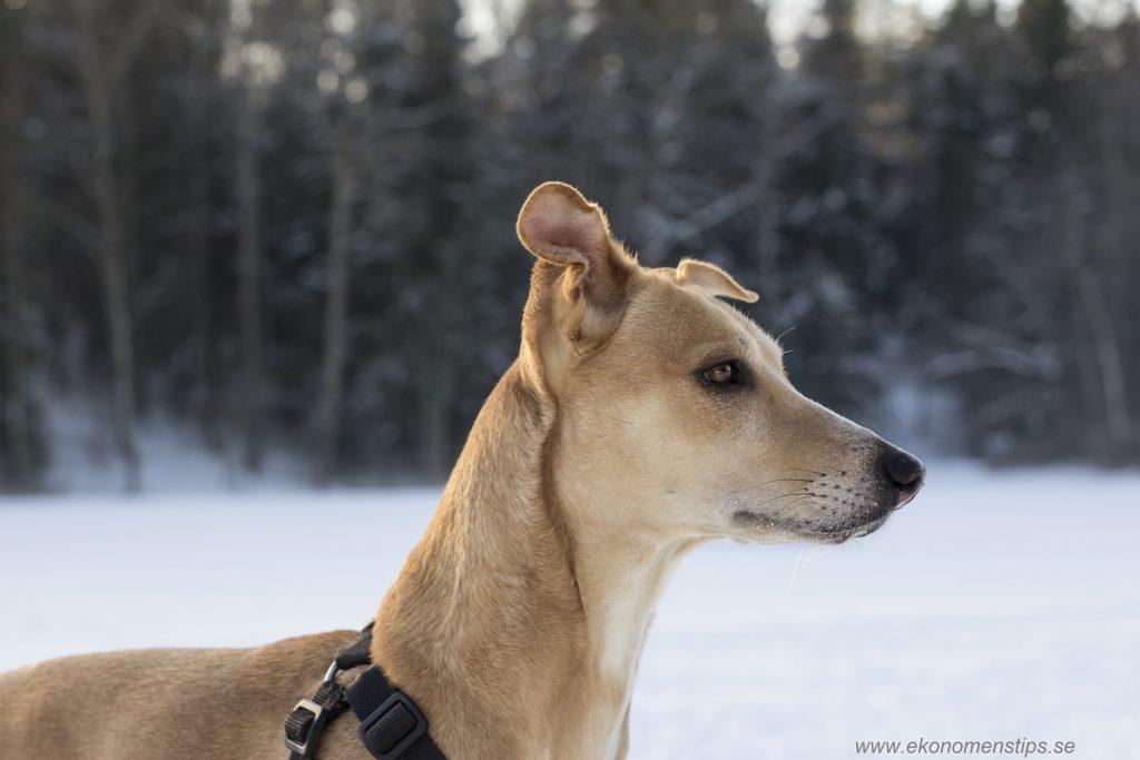 hund på vintern